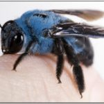 What Is A Blue Jacket Bee
